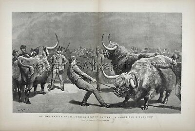 COW Highland Cattle Show, Scotland, Bulls Being Judged, Huge 1880s Antique Print