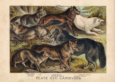 Wolf (Grey & Red), Coyote, Jackal, 1880 Antique Print