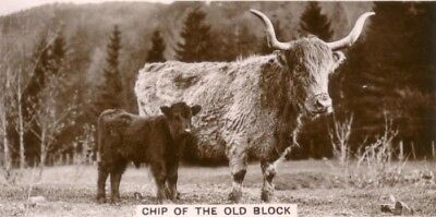 COW Cattle Highland Long Hair Photo Trading Card 1930s