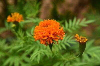 "Mexican marigold ""Fantastic"" - orange-flowered; Aztec marigold - 108 seeds"