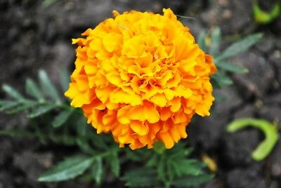 Mexican marigold - golden yellow variety; Aztec marigold - 270 seeds