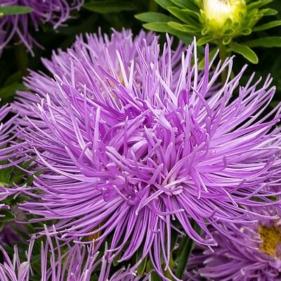 "needle-petal aster ""Warszawski Lila"" - blue-coloured - 360 seeds"
