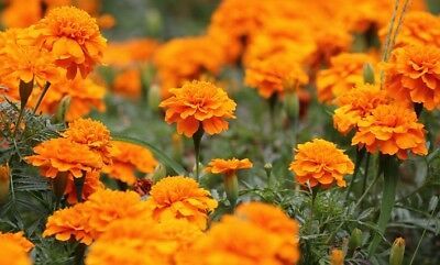 "French marigold ""Tangerine"" - low growing variety, orange blooms - 315 seeds"