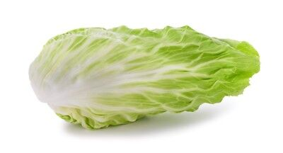 """Leaf endive """"Bianca di Milano"""" - can be grown under covers all year long"""