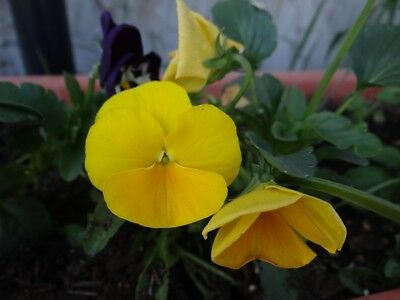 "Large flowered garden pansy ""Luna"" - in all shades of lemony yellow - 288 seeds"