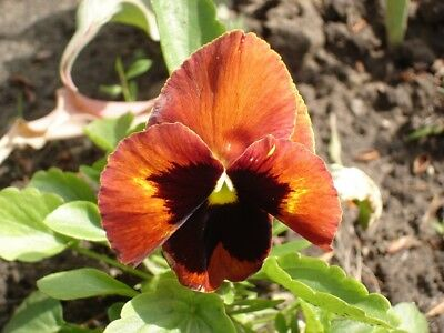 """Swiss garden pansy """"Flame"""" - golden-red, dotted - 360 seeds"""