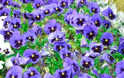 "Swiss garden pansy ""Alpensee"" - light-blue, dotted - 360 seeds"