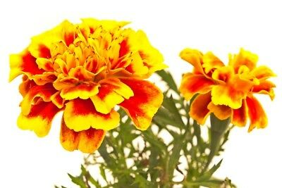 "French marigold ""Giant Bicolour"" - mahogany-red with gold rim - 158 seeds"