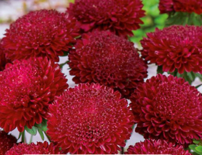 "Pom-pom-flowered aster ""Bolero"" - red - 225 seeds"