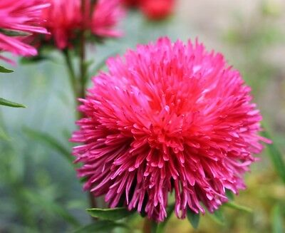 """Needle-petal aster """"Red Ball"""" - 225 seeds"""