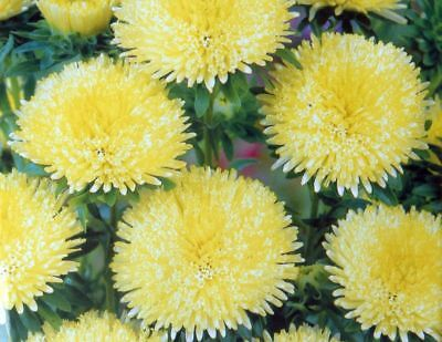 "Pompom-flowered aster ""Bolero"" - yellow - 225 seeds"