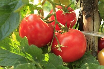 """Tomato """"Polorosa F1"""" - for cultivation under covers - 15 seeds"""