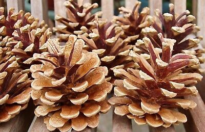 1kg Austriaca Cones Florist Craft Real Pine Christmas Natural Fir Wreath Tree