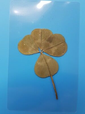 Real Genuine Four Leaf Clover, Wallet, Lucky, Lamanated, 80th Birthday