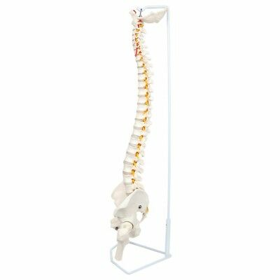 Life Size Flexible Human Spine Model with Pelvis Anatomy Medical Learn