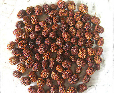 Wholesale Lot 1000 Pcs 3 Three Mukhi Face Rudraksha Rudraksh Loose Beads A++