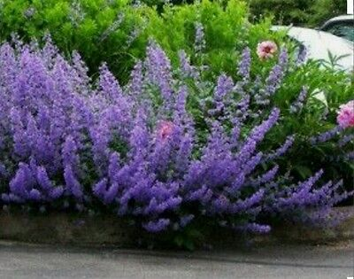 200+ CATMINT Herb Seeds-Non GMO-Open Pollinated-Deer Resistant Perennial.