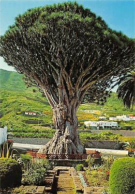 Spain Icod de Los Vinos (Tenerife) The Famous drago to the Icod of the Wine