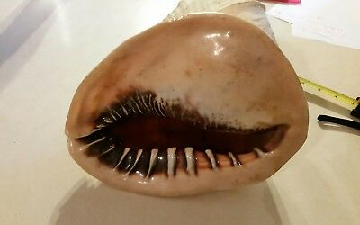 Conch Sea Shell Extra Large Excellent Condition Vintage