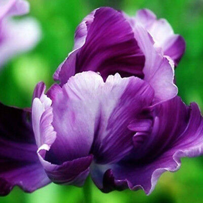 100 Pcs Beautiful Rare Parrot Tulip Bulbs Seeds Home Garden Decor Faddish
