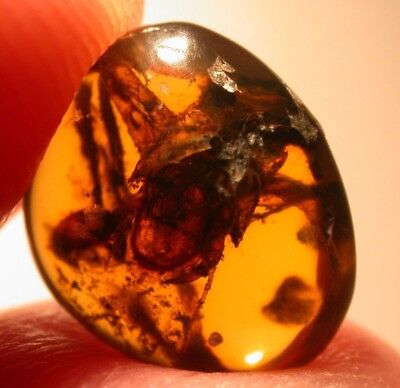 Extinct Predatory Cockroach in Burmite Amber Fossil from the Dinosaur Age