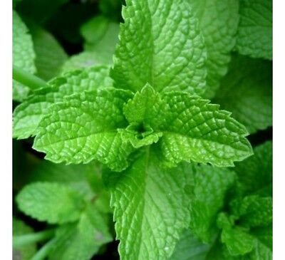 Peppermint Herb Seeds, Mentha piperita, Herbal and Medicinal Tea, FREE SHIP