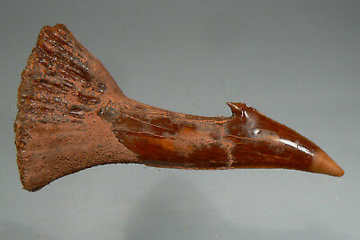 63.8 mm FOSSIL BARBED TOOTH FROM GIANT FISH ONCHOPRISTIS, MOROCCO