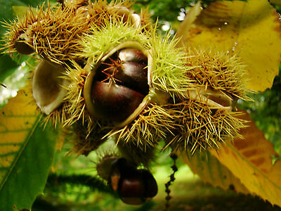 large seed sown in pot of Sweet Chestnut Tree CASTANEA sativa, hardy tree, fruit
