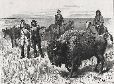 Buffalo American Bison Hunt Red River Valley Manitoba Canada 1880s Antique Print