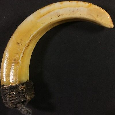 Real Solid Wild BOAR Pig Tooth Fang Amulet Thai Powerful Talisman Power Protect