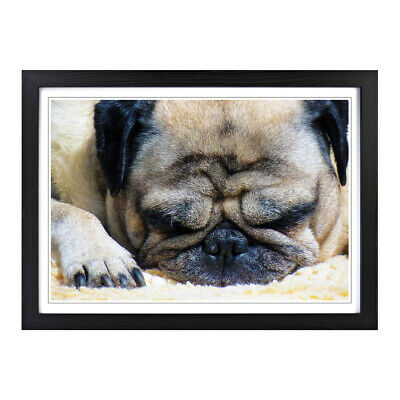 STUNNING CUTE PUG DOG CANVAS PICTURE #62 CANVAS PUG PICTURE WALL ART HOME DECOR