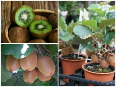 100pcs KIWI Seeds Delicious Healthy Fruit Actinidia Vine Seeds Easy to Plant