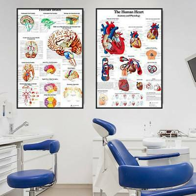 New Human Body Anatomy Canvas Muscle System Poster Medical Anatomical Chart AU