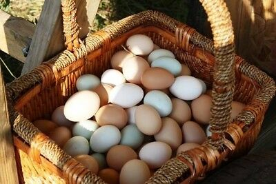 12 Fresh and Fertile Chicken Hatching Eggs MIXED VARIETY, Pasture Raised