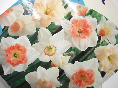 30 Daffodil Pink Mix Bulbs Blooms Mid Spring 12/14 cm Plant Flowers Guaranteed