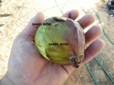 World LARGEST Fig ( Ficus Carica ) Fruits ,Giant Figs 50 fresh seeds
