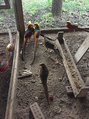 Red Golden Pheasants Adults and Chicks