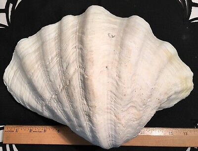 "Ocean Large seashell shell clam white 13-1/2"" x 9-1/2"" real natural 5.5 lbs."