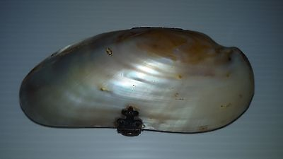Vintage mother of pearl clam coin purse