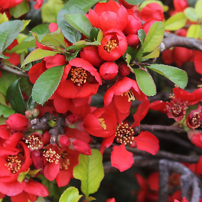 Japanese Quince - Chaenomeles japonica - Maule's Quince - 5+ seeds