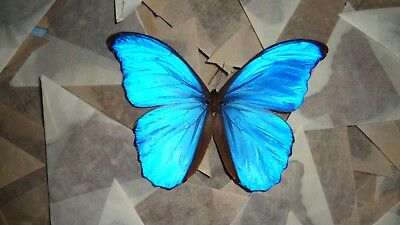 Wholesale Lot Of 100 A- Real Butterfly Blue Morpho Didius Unmounted Wings Closed