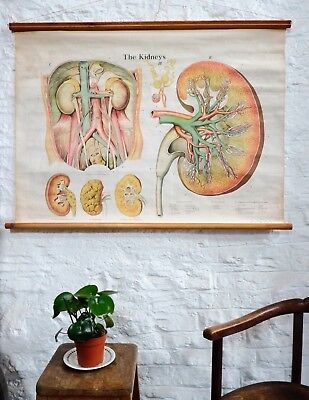 Vintage Anatomical Medical Adam Rouilly Wall Chart Poster Kidneys 1940's