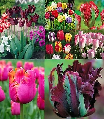 25 Tulip Bulbs Mix Rainbow Colors Parrot Single Doubles Flower Red Yellow Purple