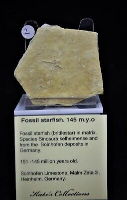 Pick your own Gift Boxed Baby  Fossil Starfish from  Solnhoffen +  Stand