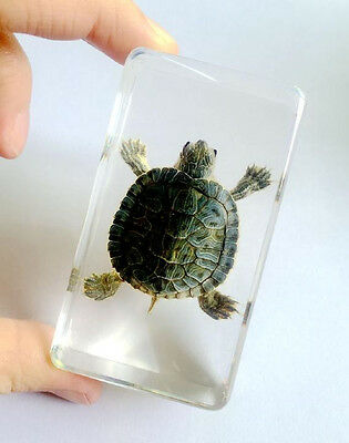 Hand Attractive Specimen Real Tortoise Turtle Lucite Amber Paperweights jewelry
