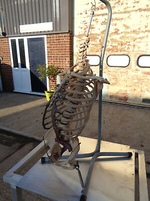 Vintage 1950'S hanging full sized anatomical skeleton torso LOTMEDFF20