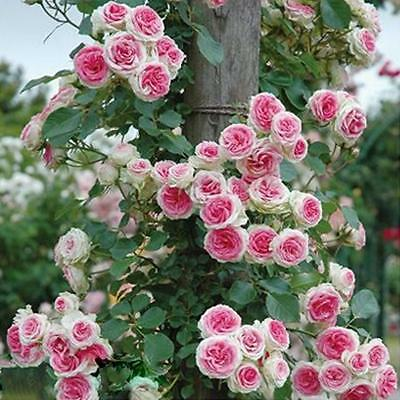 New 100pcs Rose Red Climbing Rose Seeds Perennial Flower Garden Decor 4colors.