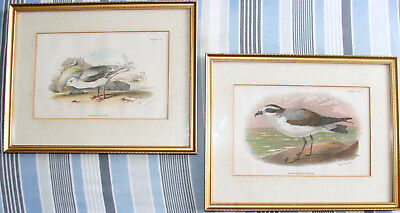 Pair Antique Sea Bird Chromolithographs Lloyds Natural History Mounted & Framed