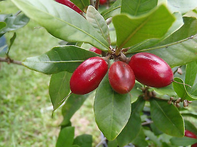 Miracle Fruit tree Synsepalum dulcificum 10+ Fresh seeds organic grown!