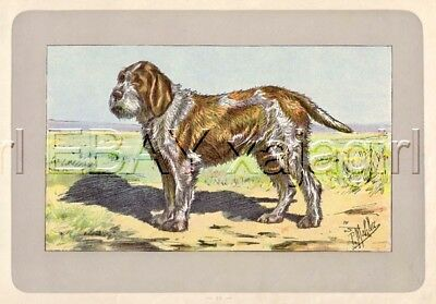 DOG Spinone Italiano, Itialian Pointer, Rare Antique 100-Year-Old French Dog Pri